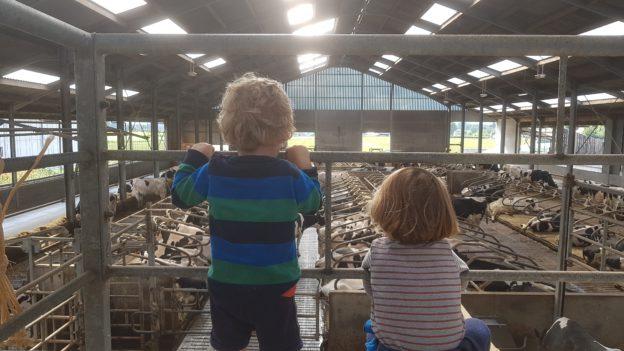 Hoeve 't Alkeveld Velzeke - kinderboerderij met koeien
